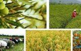 در دانش کشاورزی مشکلی نداریم / باید به ترویج اهمیت بیشتری داد / متوسط عملکرد گندم ۴ تن است ولی کشاورز نمونه ۱۲ تن در هر هکتار عملکرد دارد