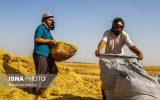 اگر قیمت گندم تغییر نکند کشاورزان گندم را به بازار آزاد می فروشند! / با گندم ۴۰۰۰ تومانی الگوی کشت محقق نمی شود / قیمت خرید تضمینی گندم باید ۴۸۰۰ تومان باشد