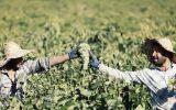 گفتگو با دبیر نظام صنفی کشاورزی گراش / مسئولین به فکر کشاورزان نیستند