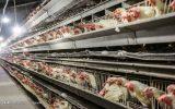 صنعت مرغداری در معرض خطر است / نهاده به میزان کافی به مرغدار نمی دهند / عرضه مرغ با نرخهای فعلی در بازار بی انصافی است / مسئولان دولتی در خصوص مرغ واقعیت را بیان نمیکنند