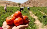 گرانفروشی را پای کشاورزان ننویسید / گوجه ای که در بازار ۱۱ هزار تومان است از کشاورز ۱۰۰۰ تومان می خریدند! / نظارت نیست