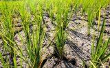 تکلیف کشت برنج در خشکسالی بیسابقه چه میشود؟