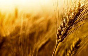 قیمت خرید گندم باید بیش از ۷۰۰۰ تومان اعلام میشد / گندم رکن اصلی کشاورزی است