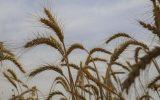 قیمت خرید گندم باید ۵۸۰۰ تومان باشد / اعطای مشوق ۱۰۰۰ تومانی برای خرید گندم، ایستادن در مقابل قانون است