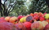 قیمت خرید تضمینی سیب صنعتی اعلام شد