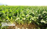 نارضایتی کشاورزان از نرخ خرید تضمینی چغندرقند / مجری طرح چغندرقند: نرخ اعلام شده مورد تایید ما نیست / بدنبال افزایش عملکرد در واحد سطح هستیم